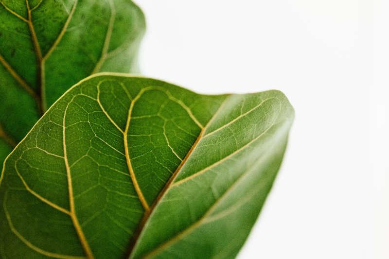 Faith and My Fiddle-Leaf Fig
